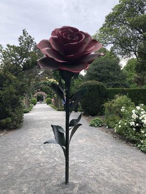 Roos in Botanische Tuin van Christchurch
