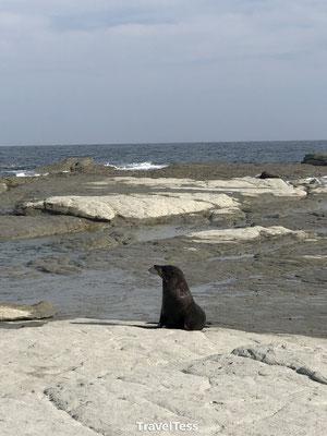 Kaikoura: zeehonden badplaats