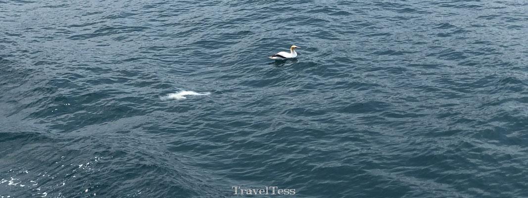 Albatros in Kaikoura