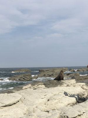 Wilde zeehonden in Kaikoura