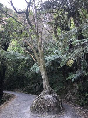 Bijzondere boom in Hahei