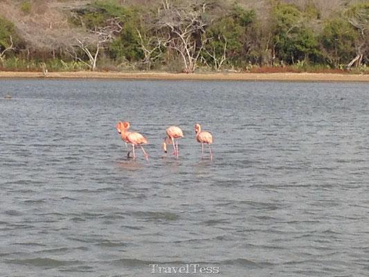 Wilde flamingo's op Curaçao
