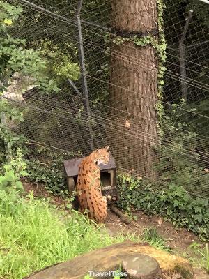 Lynx Alpine Zoo
