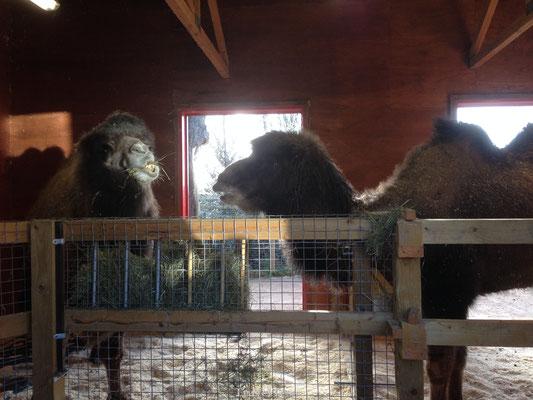 Londen Zoo Kamelen
