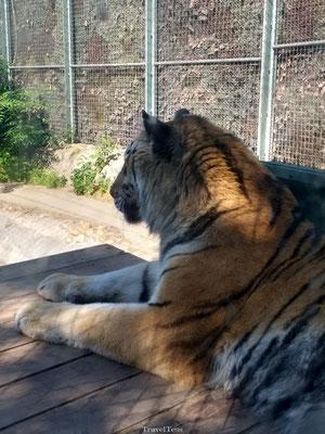 Tijder in de Boedapest Zoo