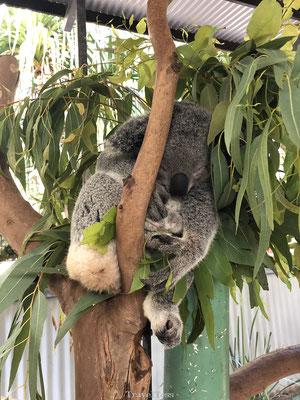 Koala Village