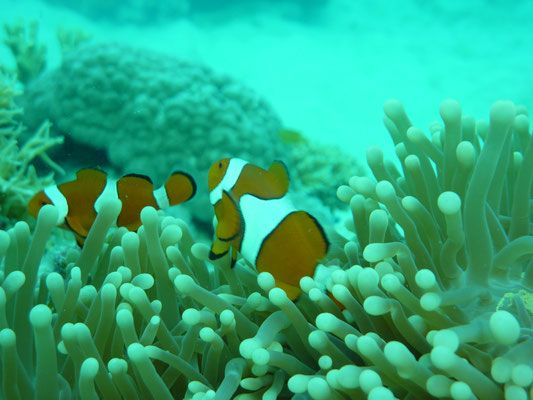 Nemo vis Great Barrier Reef