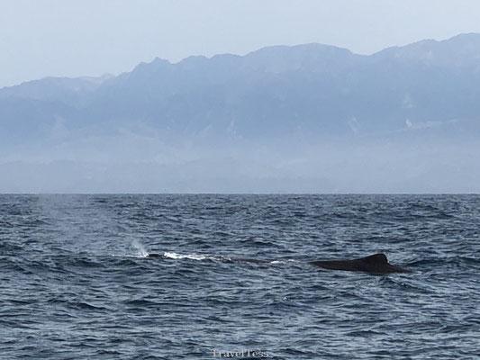 Walvis gespot bij Kaikoura