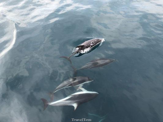 Wilde dolfijnen in Kaikoura