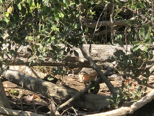 Krokodillen safari Australië