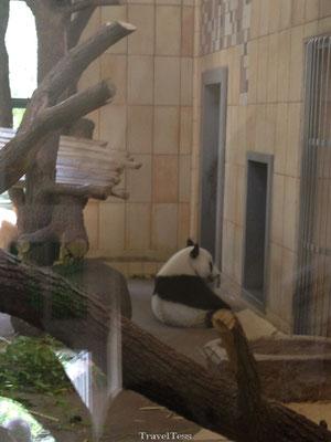 Tiergarten Zoo panda