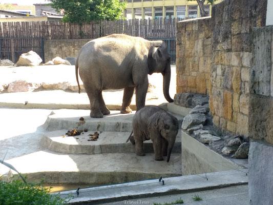 Olifanten in de Boedapest Zoo