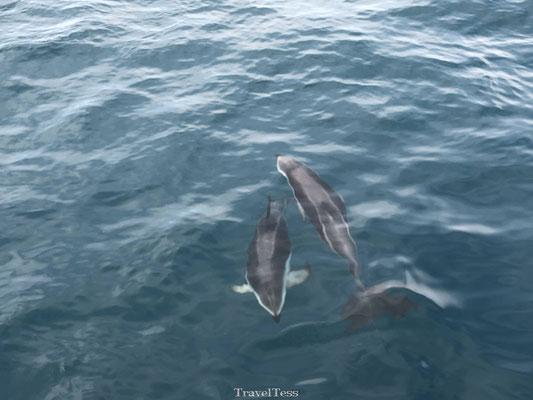 Groep dolfijnen in Kaikoura