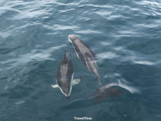 Dolfijnen Kaikoura