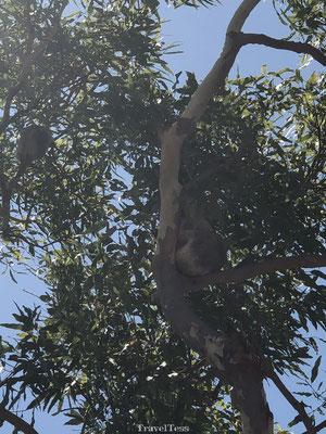 Koala spotten Magnetic Island