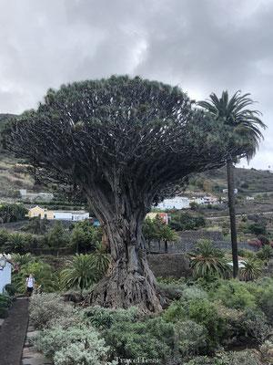Oudste drakenbloedboom