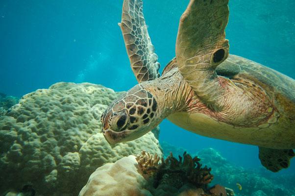 Schildpad Great Barrief Reef