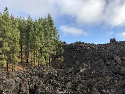 Duidelijke boomgrens Chinyero vulkaan