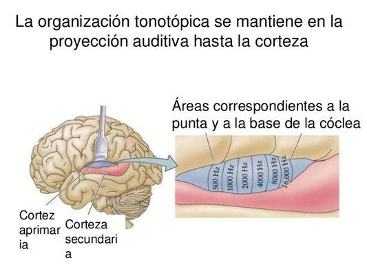 La organización tonotópica se mantiene en la proyección auditiva hasta la corteza.