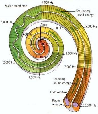 Disposición frecuencial en la cóclea.