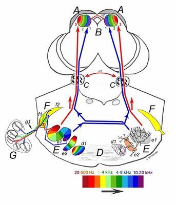 Tonotopía de las vías auditivas.
