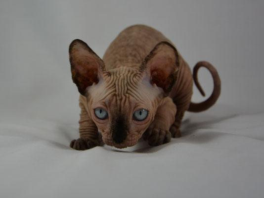hairless sphynx cat for sale in NY/NJ