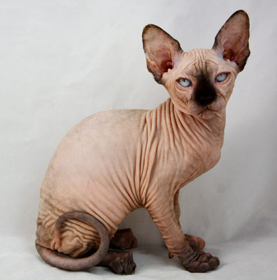 Sphynx Kittens for sale - Indigo Sphynx Kittens - Canadian