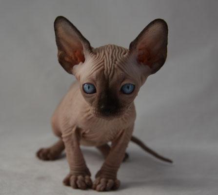 Sphynx Kittens For Near Dallas Tx - Pets Wallpapers