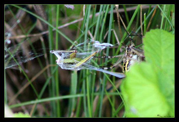der wespenspinnen-zwischenfall 2