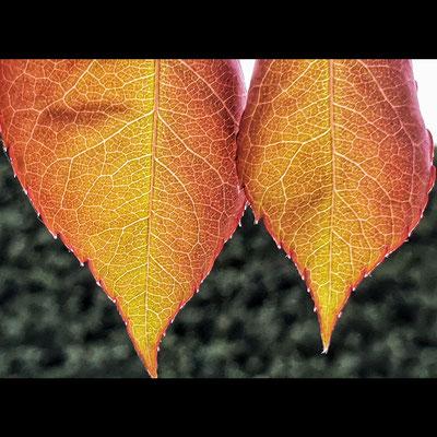 herbstlook im frühling. 🍁🌹😍. #roseleaves #colourfulleaves #colourfulnature #lifeIScolourful #daslebenISTbunt #gegenlicht #natureistheartist #naturelover #naturephotography #macrophotography #gardenmoments #innehaltenundsehen #pauseanddiscover