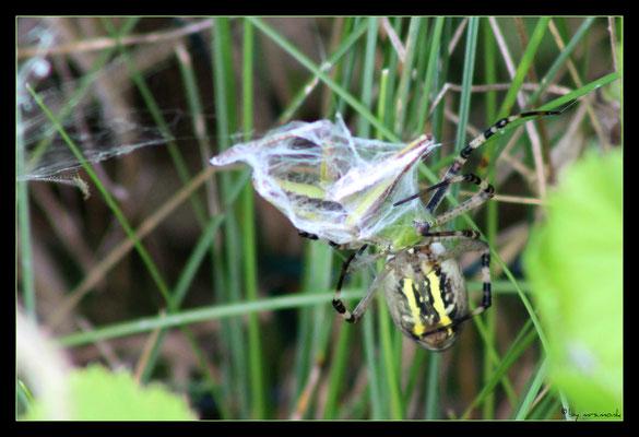 der wespenspinnen-zwischenfall 4
