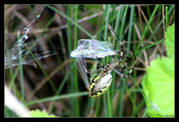 der wespenspinnen-zwischenfall 3