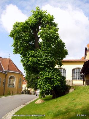 Trompetenbaum im Klinikgelände