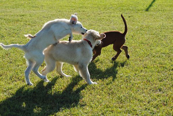 Centro cinofilo Gasdog ( Torre del lago , Versilia , Viareggio , Lucca) Giornata del cucciolo, puppy class