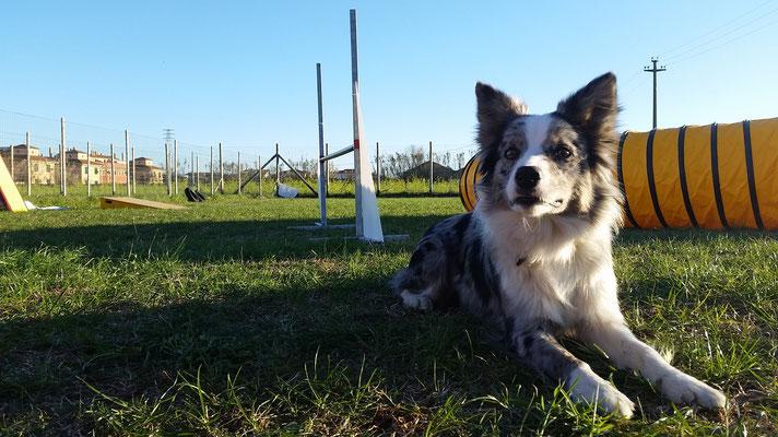 Relax nel campo di Agility dog - Centro cinofilo Gasdog ( Torre del lago , Versilia , Viareggio , Lucca)