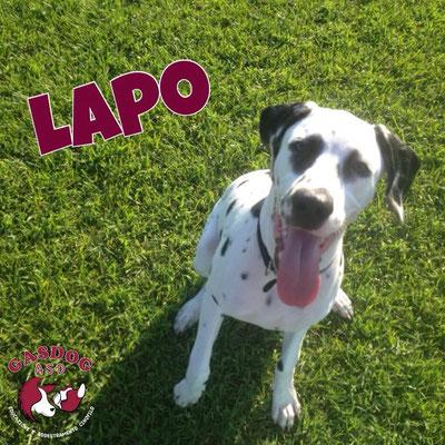 Lapo - Centro cinofilo Gasdog ( Torre del lago , Versilia , Viareggio , Lucca) Educazione Base, Puppy Class