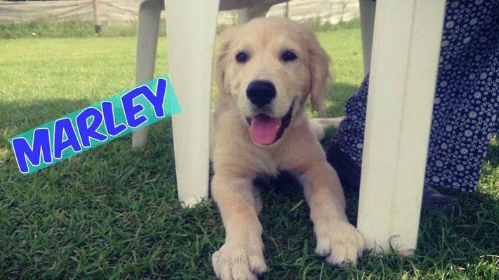 Marley- Educazione base - Centro cinofilo Gasdog ( Torre del lago , Versilia , Viareggio , Lucca) Puppy class, Educazione Base