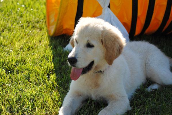 Centro cinofilo Gasdog ( Torre del lago , Versilia , Viareggio , Lucca) Puppy class, Giornata del cucciolo