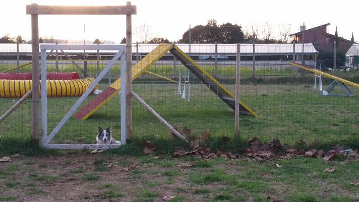 Joy la guardiana del campo di Agility Dog - Centro cinofilo Gasdog ( Torre del lago , Versilia , Viareggio , Lucca)