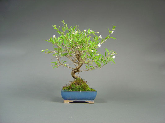 Enzianbaum / Solanum Bonsai 7Jahre