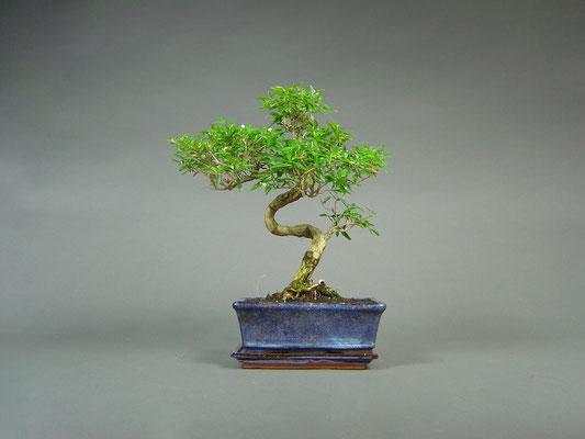 Junischnee / Serissa japonica Bonsai 8 Jahre