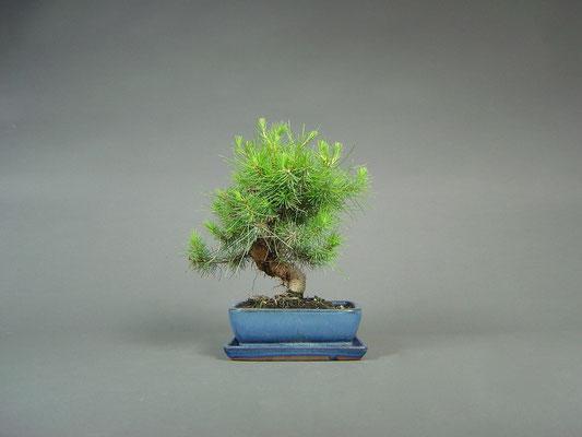 Aleppo-Kiefer / Pinus halepensis Bonsai 8Jahre