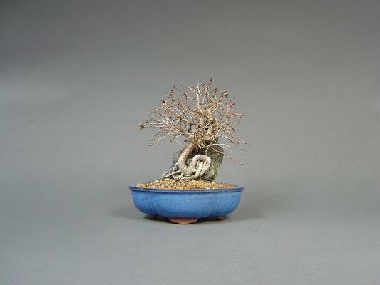 Koreanische Weißbuche, Carpinus coreana, Sekijōju / Bonsai über Stein, Outdoor - Bonsai, Freilandbonsai