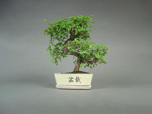 Chinesische Ulme / Ulmus parvifolia Bonsai 8 Jahre