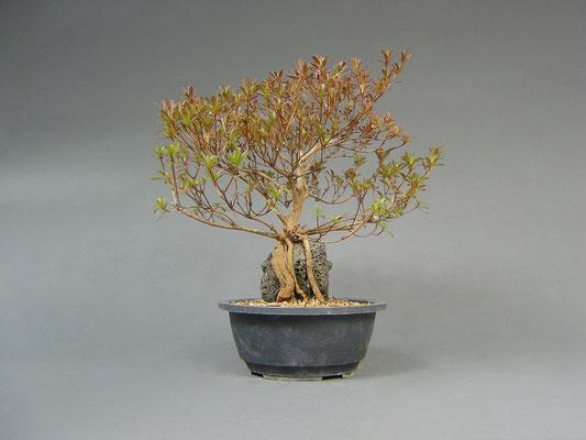 Satsuki - Azalee, Rhododendron indicum, Freilandbonsai, Rohling
