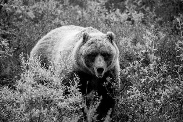 Denali Nationalpark Alaska - 55