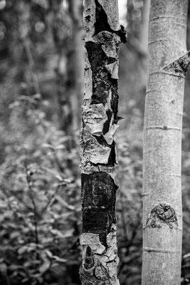 Die Bireknbäume haben alle ine tolle Rinde
