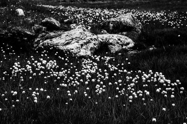 Wollblumen am Valzifenz Joch