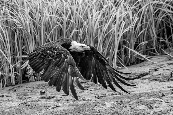 Seeadler am Kenai River 2