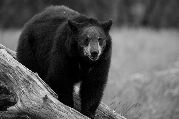 Kleiner Schwarzbär im Portage Valley